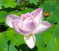 Nelumbo nucifera (Iggy Y) Tags: nelumbonucifera nelumbo nucifera summer blossom flower pink color flowers indijskilotos lotos indianlotus lotus sunny day light