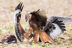 Red Kite feeding Oct 2017 (explored) (jgsnow) Tags: bird raptor redkite feeding fighting kite