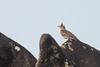 Crested Lark (steve happ) Tags: coorg india karnataka kodagu madikeri mandalpatti pushpagiriwildlifesanctuary