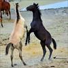 LEARNING THE SKILLS ... (Aspenbreeze) Tags: wildhorses colt wildcolt stallion coloradowildlife wildlife equine horseplay sandwashbasinwildhorserefuge nature aspenbreeze moonandbackphotography bevzuerlein