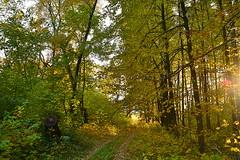 Approaching the margin (МирославСтаменов) Tags: russia moscowregion pushchino forest sunset ray beam sun byroad autumn lime tree