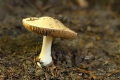 Paddestoel - Clingendael (mariandeneijs) Tags: paddenstoel paddestoel toadstool fungi mushroom bos landgoedclingendael clingendael landgoed park