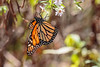 Monarch (norasphotos4u) Tags: butterflymoth canonef100400f4556iiusm landscape ©noraleonard mountains social insects canon7dmkii fall flickr skylinedrive