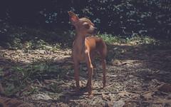 maxi (mamonto_70) Tags: perros dogs animales antioquia medellin colombia pinscher maximiliano nikon fredonia 2017