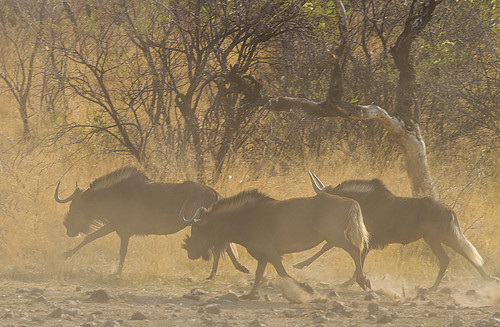 Black wildebeest , running in the dust, Molose dam, Botsolano, _8972