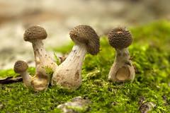 Paddestoel - Clingendael (mariandeneijs) Tags: paddenstoel paddestoel mushroom toadstool fungi clingendael landgoedclingendael landgoed bos park