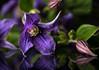 Clematis (K&S-Fotografie) Tags: color macro studio closeup indoor clematis makro blume pflanze garten