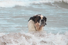 galli cadzand18 (cdandrifosse) Tags: galli saint bernard mer cadzand chien