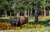 Parc Omega : October 22, 2017 (jpeltzer) Tags: ottawa parcomega quebec fall autumn fallcolours wildlife bison