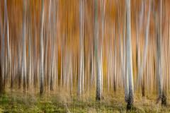 Birkenwald (renatecamin) Tags: birken wald herbst trees nature
