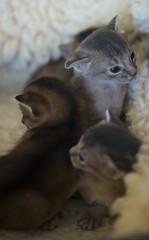Kittens Two Weeks Old 4 (peter_hasselbom) Tags: cat cats kitten kittens abysinnian 2weeksold twoweeksold blue ruddy usual 3cats 3kittens litter litteroffour 105mm