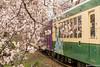Tunel-Sakura-Kioto-Randen-36 (luisete) Tags: hanami japan japón randen túneldesakura tranvía tramway kioto kyoto