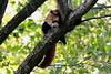Red Panda (carlo612001) Tags: red panda redpanda rosso minore cute lovely tree summer nature wildlife park wildlifepark
