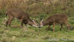 Cerf de Virginie - White tail Deer-5 (proxy46) Tags: 200500mm 2017 nikon refugemargueritedyouville d500 oiseau châteauguay québec canada ca