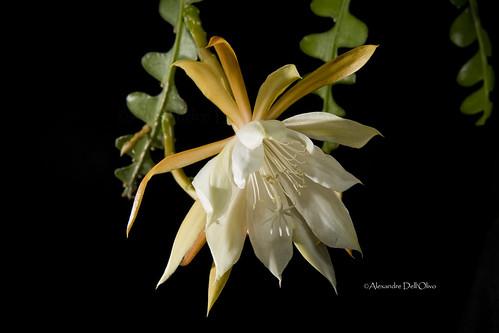 Epiphyllum anguliger_DSC4697