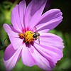 Two Beautiful Butts  HBBBT (Eleanor (No multiple invites please)) Tags: cosmos pinkflower insects bee ladybird bushey uk nikond7200 july2017