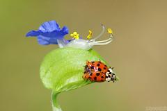 Beauty in Imperfection (Vie Lipowski) Tags: ladybug ladybird ladybeetle asiaticdayflower commelinacommunis dayflower elytron elytra noxiousweed insect bug beetle flower weed wildflower wildlife nature macro