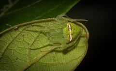 green 'Araneus' (dustaway) Tags: arthropoda arachnida araneae araneomorphae araneidae araneinae araneus greenorbweaver rainforest davisscrub rous alstonvilleplateau northernrivers nsw nature australianspiders