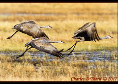 Take Off (ctofcsco) Tags: 1500 20x 2x 7d 7dclassic 7dmark1 7dmarki 800mm canon colorado didnotfire digital ef2x ef2xii ef400mmf28liiusm20x eos eos7d esplora explore explored extender f80 flashoff iso125 manual photo pic pretty renown spot supertelephoto teleconverter telephoto unitedstates usa 2017 alamosa birds cranes geo:lat=3745997671 geo:lon=10614014486 geotagged image landscape migration montevista montevistanwr nationalwildliferefuge nature northamerica photograph picture sanluisvalley sandhillcrane sandhillcranefestival spring wildlife wwwmvcranefestorg zinzer