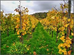 Yellow (almresi1) Tags: weinberg vineyard nature germany landscape kappelberg fellbach autumn fall herbst bunt farbenfroh colours wolke cloud blumen flowers wald wood trees bäume remstal