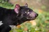 Tasmanischer Teufel (Anja Anlauf) Tags: tasmanischer teufel säugetier tier selten