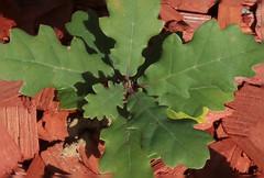 Futur ENORME chêne centenaire !-) (Pi-F) Tags: arbre vert rouge plantation chêne feuille macro closeup humour futur espérance espoir
