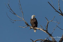 Female Bald Eagle keeping watch over the river