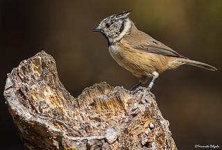 Chapim de poupa | Crested Tit | Herrerillo Capuchino | Mésange huppée (Lophophanes cristatus)