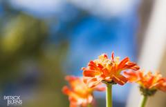 Blue Sky + Orange Flowers (Patrick.Burns) Tags: