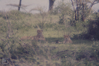 2 cheetah. youngster on right. Ndutu