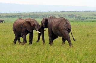 duel elephants