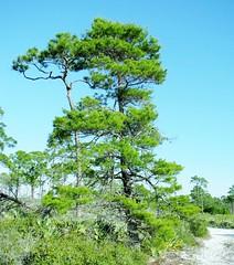 Pinus clausa --  Sand Pine Tree 7160 (Tangled Bank) Tags: jonathan dickenson state park martin county florida wild nature natural mesic pine flatwoods flat woods plant flora botany quercus geminata sand scrub oak 7163