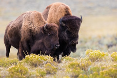 "Isn't She Lovely…  3I4153 (Dr DAD (Daniel A D'Auria MD)) Tags: bison mammals ""largestmammalofnorthamerica"" ""buffalo"" animal nature wildlife ""wildlifeofthewest"" ""icon"" ""jacksonhole"" ""jackson"" ""wyoming"" ""animalsofyellowstone"" ""yellowstone"" ""yellowstonenationalpark"" ""lamarvalley"" ""children'swildlifebooksbydanielad'auriamd"" ""drdadbookscom"" ""danielad'auriamd"" ""september2017"""