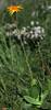Arnica montana (Mountain Arnica) (Hugh Knott) Tags: arnicamontana mountainarnica glora zermatt switzerland asteraceae suisse schweiz helvetica valais alpine