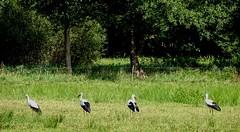 Schwarz-weiss | Black and white (André-DD) Tags: wiese field störche storks stork storch vogel bird vögel birds wald forest baum tree spreewald brandenburg deutschland germany