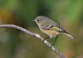 Ruby-crowned Kinglet by Jackie B. Elmore 10-11-2017 Lincoln Co KY