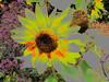 Posterized Flower (walter_g) Tags: canong9 rawtherapee53 gimp296 macro partialbacklight nikcolorefexpro