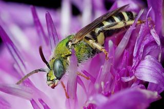 Agapostemon Bee Portrait Stack [Explore 2017-10-16]