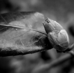 Camellia bud - HMBT (randyherring) Tags: ca bokeh flower sanjose outdoor depthoffield california plant bud macro monochrome camellia afternoon closeup green bloom red unitedstates us