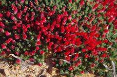 Lechenaultia tubiflora, Toolibin, east of Narrogin, WA, 15/09/17 (Russell Cumming) Tags: plant lechenaultia lechenaultiatubiflora goodeniaceae toolibin narrogin westernaustralia