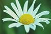 White  beauty (Rajavelu1) Tags: flowers colours plant green white macrophotography canonef100mmf28lisusmmacro art creative canon60d artdigital