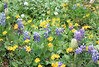 Arnica & Lupines, Anemones & Valerian (gerry.bates) Tags: nature plants flowers perennials wildflowers alpine cascademountainrange ecmanningprovincialpark britishcolumbia canada nootkalupin lupinusnootkatensis arnica fleabane lupin valerian anemone