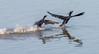 Boj o koříst - Kormorán velký (Phalacrocorax carbo), Bohdanečský rybník (Pavel Trhon) Tags: ptáci pták vodní water bohdaneč rybník pond birds závod race souboj fight