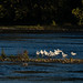 Chemung River watershed in Steuben County, N.Y. - Gulls rest near the start of the Chemung River in Steuben County, N.Y., on Sept. 30, 2017. (Photo by Will Parson/Chesapeake Bay Program)