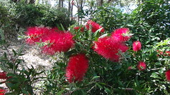wildflowers on the beach (spelio) Tags: tm ace nsw huskisson australia oct 2017 weekend travel bottlebrush wildflowers flowers linnaeus links reference flora system