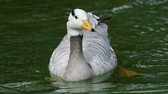 Bar-headed goose / oie a tete barree (Franck Zumella) Tags: goose geese barheaded bar headed tete barree oie oiseau bird lake lac water eau