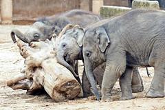baby elephants - Elefantenbaby (marco.federmann) Tags: elefantenbaby zoo hannover elephants elefant tier afrika