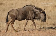 Blue Wildebeest (Connochaetes taurinus) (George Wilkinson) Tags: blue wildebeest connochaetestaurinus wildlife mammal south africa kalahari kgalagadi twee rivieren northern cape african mammals canon 7d 400mm l