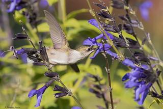 Ruby-throated Hummingbird Juv