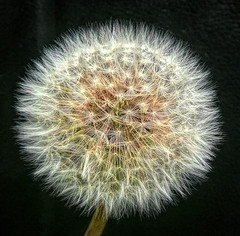 Dandelion (Durley Beachbum) Tags: odc clock dandelion flower seeds october bournemouth